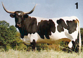 Black and white longhorn cattle